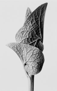 karl-blossfeldt-mm67761_3-189x300