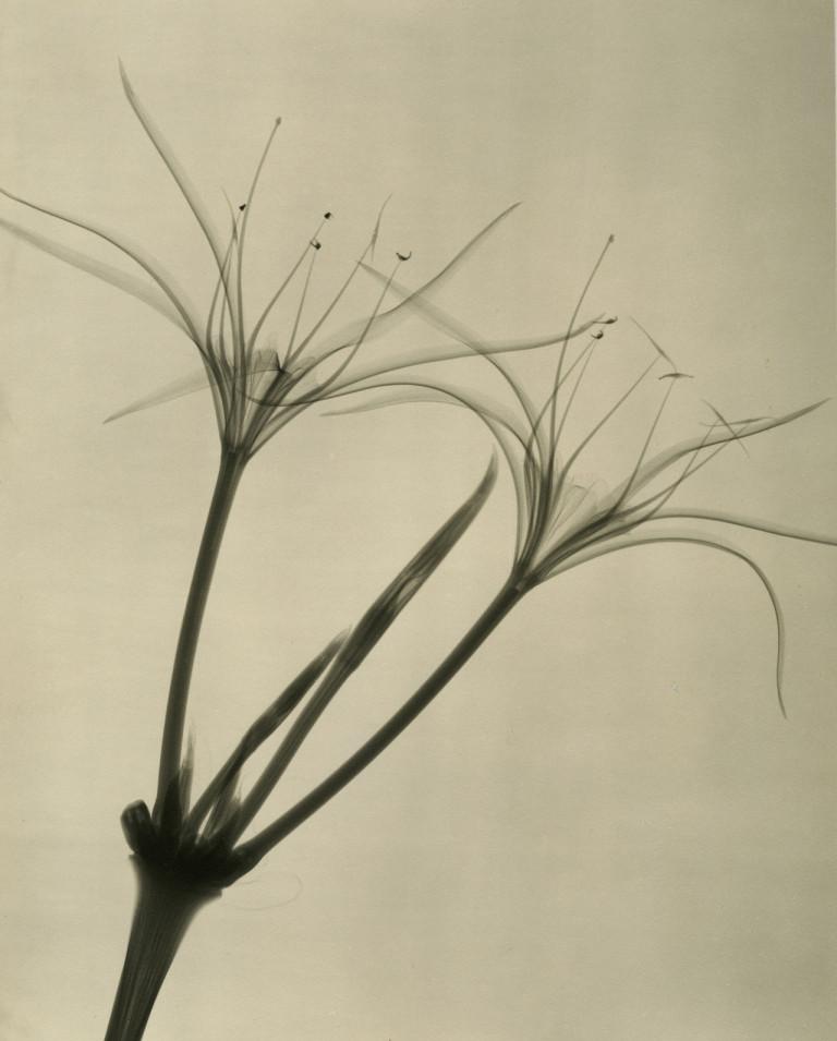 Dr.-Dain-L.-Tasker-Peruvian-Daffodil-1938-768x955