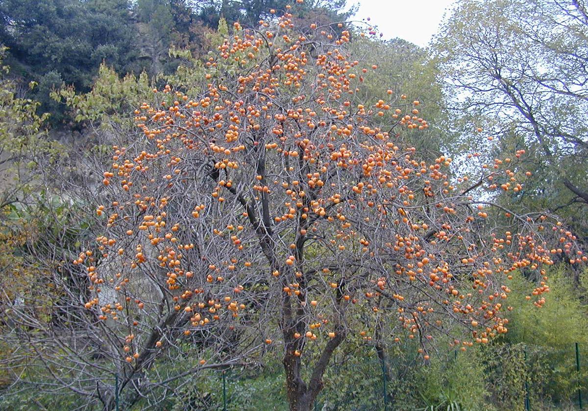 Resultado de imagen para PALO SANTO TREE