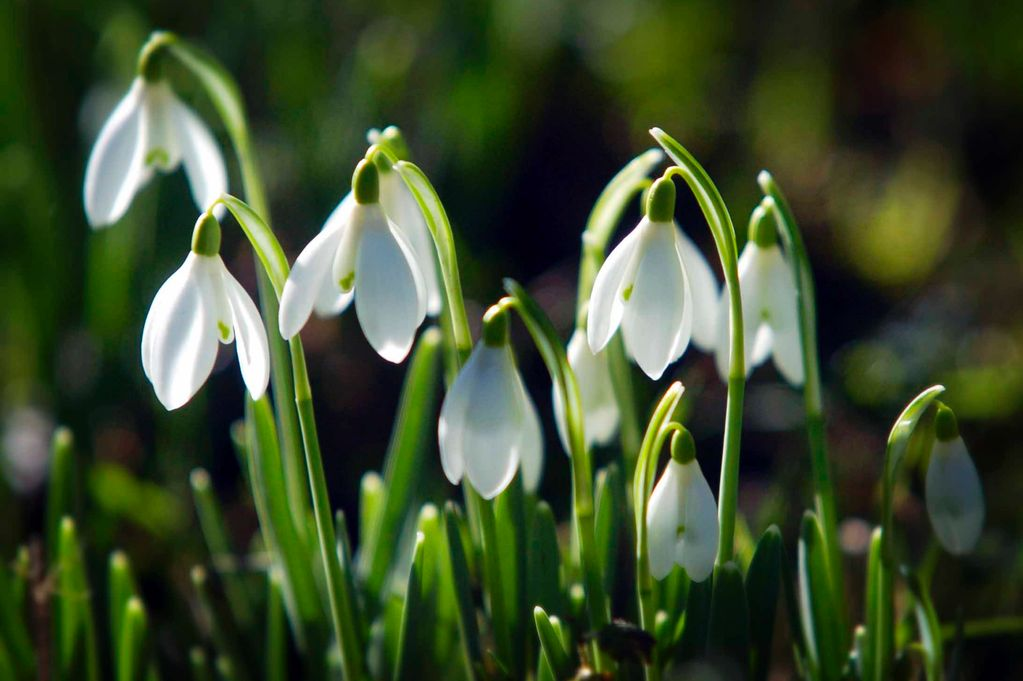 Snowdrops-catching-the-sunshine-in-Cleobury-Mortimer